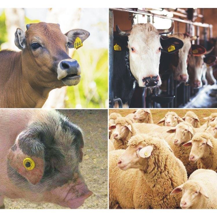 4 Anwendungen von Tierohrmarken an Kühen, Schweinen und Schafen